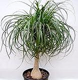 Ponytail Palm, 10''