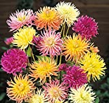 (1) Spectacular Flowering Cactus, Spider Dahlia Mix Blooming Sized Root/bulb/plant