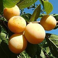 Ciruelo Amarillo - Maceta 26cm. - Altura aprox. 1'20m. - Planta viva - (Envíos sólo a Península)