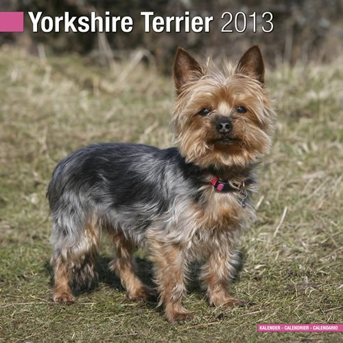 Yorkshire Terrier 2013 Wall Calendar ()