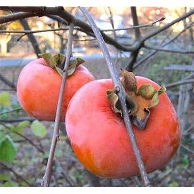 1 GIANT FUYU PERSIMMON TREES 1 FT FLOWERING FRUIT TREES : Garden & Outdoor