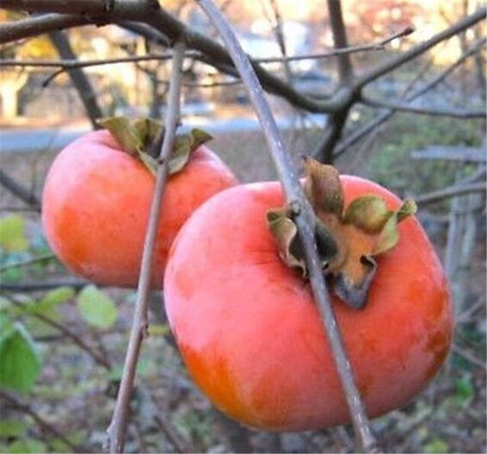 1 Japanese Giant FUYU Persimmon Tree 3-4 FT Flowering Fruit Live Plants