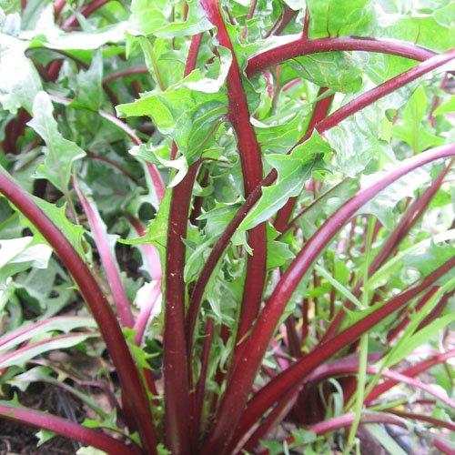 package-of-500-seeds-garnet-stem-dandelion-cichorium-intybus-non-gmo-seeds-by-seed-needs