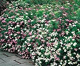 "Spiraea ""Peppermint Stick"" 3 Plants! Buy Direct From The Colorado Grower! Delivery In 4 Days!"
