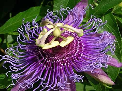 (25 Seeds Passiflora Incarnata, Purple passionflower Maypop Wild Apricot Seed)