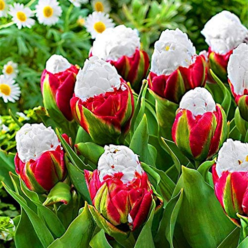 - Lioder Seeds Garden - Rare 10pcs Tulipa ''Ice Cream'' Perennial Pot Flower Seeds for Borders, containers and Rock Gardens