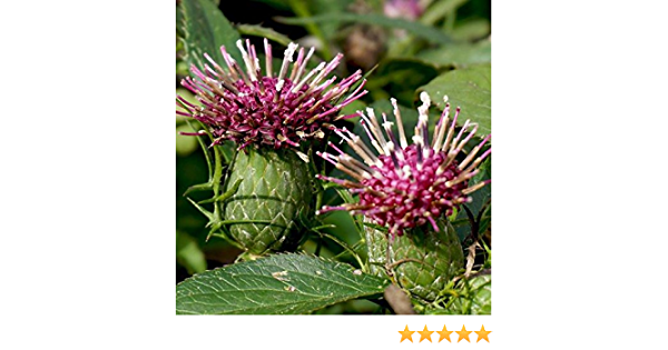 15x rougets atractylodes macroc Bai Zhu plantes #309 Graines