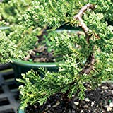 "Brussels Live Green Mound Juniper Outdoor Bonsai Tree - 3 Years Old; 4"" to 6"" Tall with Decorative Container - Not Sold in California"