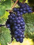 Merlot Vincent Wine Grape Vine - Grafted Certified