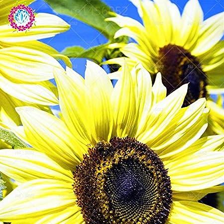 Helianthus annuus Semillas de girasol gigante 20 piezas Semillas de plantas comestibles frescas org/ánicas premium f/áciles de cultivar para plantar jard/ín bons/ái al aire libre