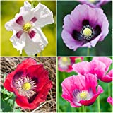 Package of 500 Seeds, Single Mixed Poppy (Papaver Somniferum) Non-GMO Seeds by Seed Needs