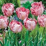 10 Bulb - Silver Parrot Tulip - Big Blooms Excellent for Bouquets -12/+cm