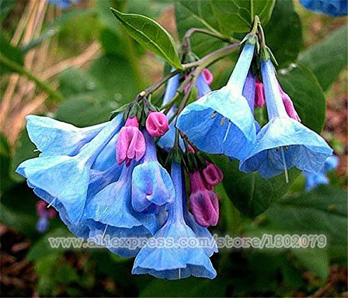 Garden Potted Plants Herbaceous Flower Bluebell Seeds C1MY