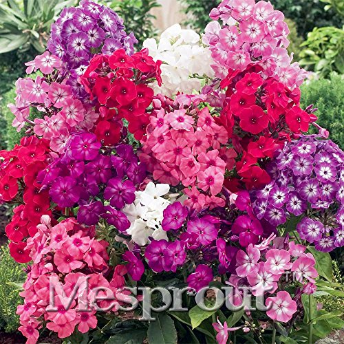 New Home Jardin Plants 100PCS Seeds Phlox Officinale Flower Seeds Garden Decoration Mini Flower Bulbs Perennial Seed