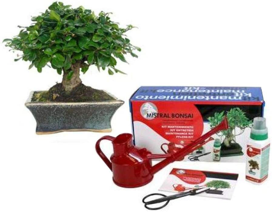 Pack básico de iniciación al bonsái Carmona microphylla 5 años