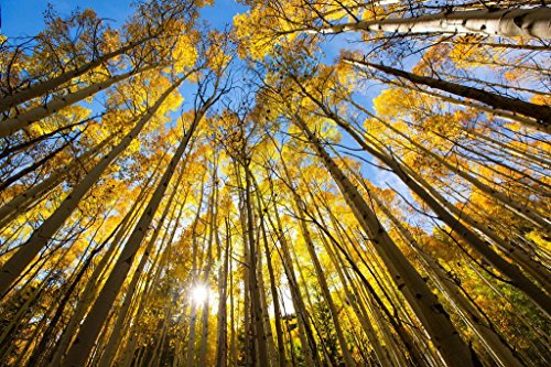 Laminated Trees Changing Colors in The Fall Aspen Colorado Photo Art Print Sign Poster 36x24 inch