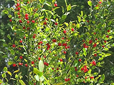 Red Huckleberry, Vaccinium Parvifolium, Shrub 30 Seeds