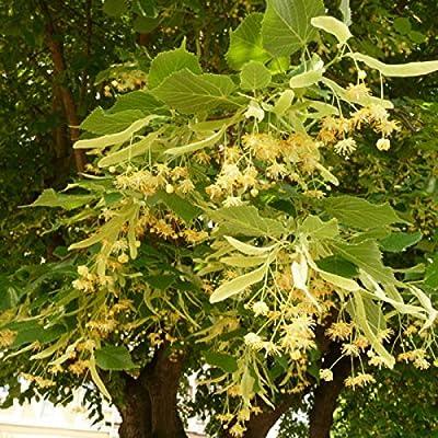 BIGLEAF LINDEN Tilia Platyphyllos 10 SEEDS
