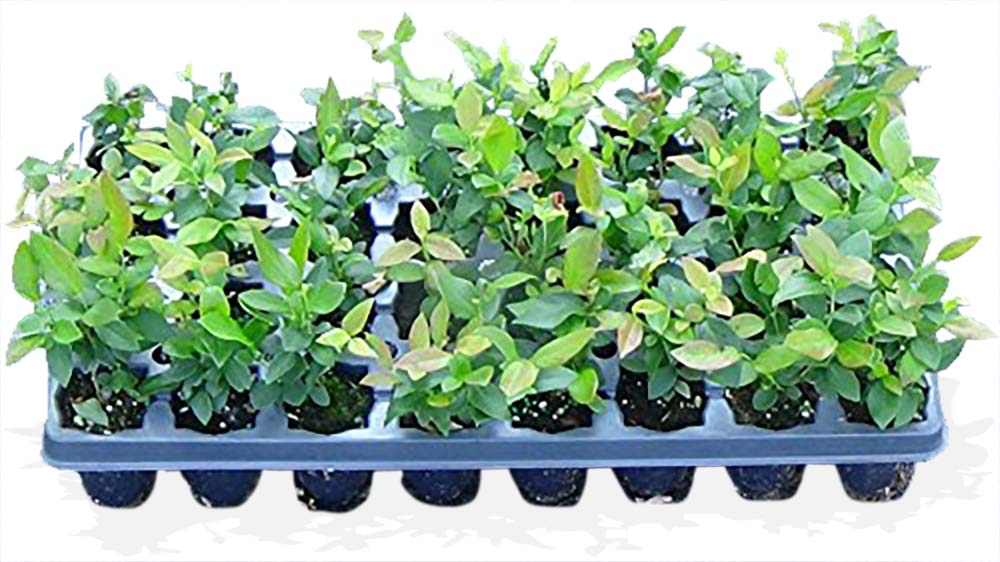 100 Blueberry Bush Plants Mixed Varieties Suitable for Your Climate Zone-State Inspected