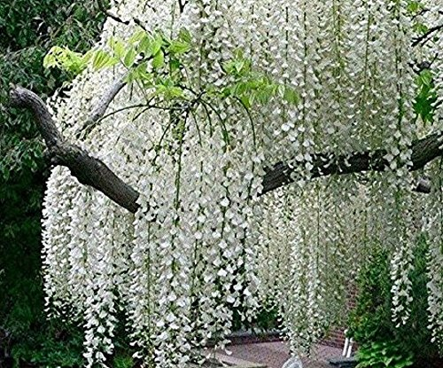 Seeds Market Rare 1 Professional package, 100 seeds / package, Chinese white wisteria heirlooms Wisteria sinensis alba