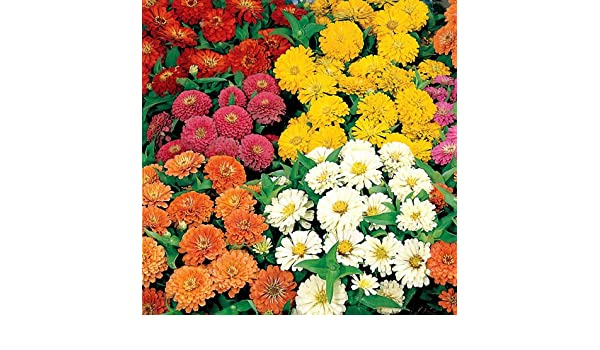 50 Zinnia Seeds Dreamland Yellow FLOWER SEEDS