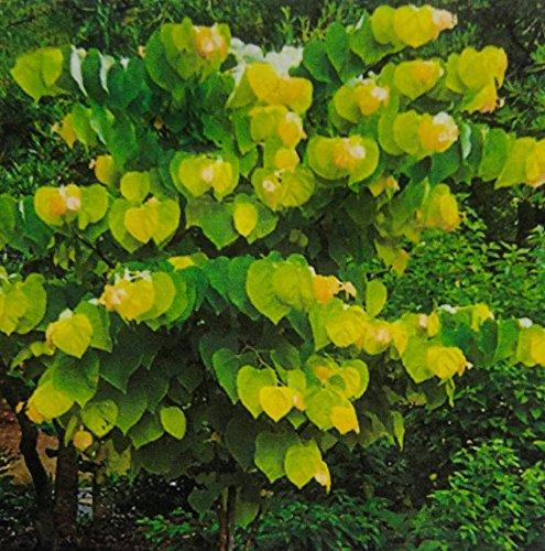 Rising Sun Redbud Tree 2 Year Old 4-5 Ft Tall