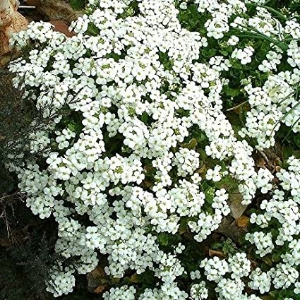Amazon.com: Alpine Rock Cress semillas – Arabis Alpina ...
