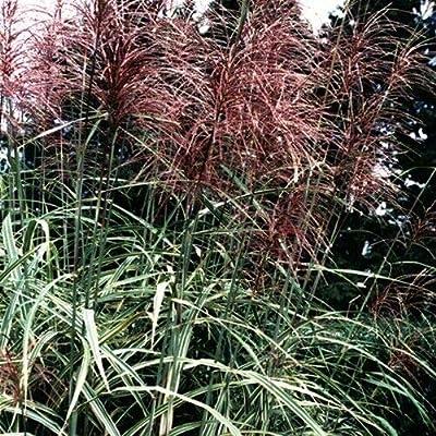 Miscanthus condensatus Cosmopolitan 38 Japanese Silver Grass Zone 5-10 Tray : Garden & Outdoor