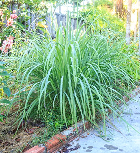 """Clovers Garden 2 Nicely Sized Lemongrass Plants Live - Mosquito Repellent Plants 4""""– 7"""" Tall in 3.5"""" Pots - Non-GMO Edible Medicinal Herb Cymbopogon"""