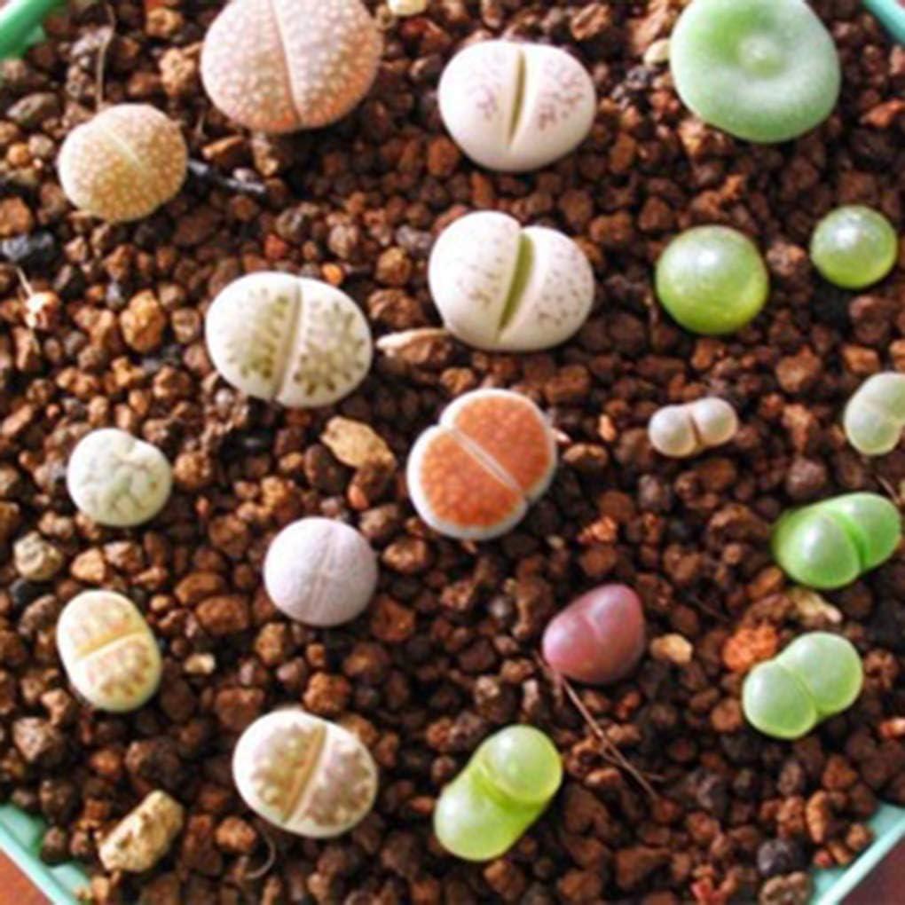 Regard L 100pcs / Bolso Hermoso Lithops Plantas Semillas Semillas para la Planta Decoración Hogar Jardín