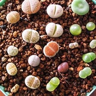 Bag Belle Lithops Semi Piante Semi per i Semi di Giardino domestiche Lithops Semi Decor piantare i Semi Bodbii 100pcs