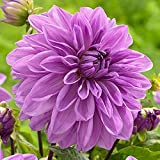 Lavender Perfection Dinnerplate Dahlia 2 Bulb Clumps