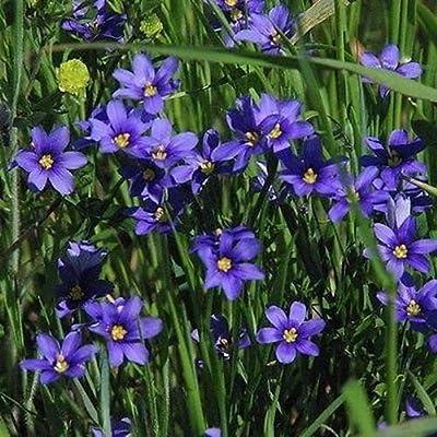 Blue Eyed Grass Seeds (Sisyrinchium Bellum) 100+Seeds : Garden & Outdoor