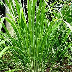 400 semillas de la hierba de limón orgánicos de la herencia Medicina Hierbas Planta Cuidado fácil de bricolaje de jardín