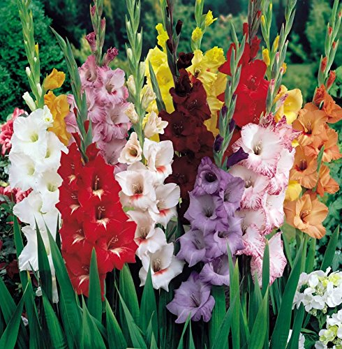 GLADIOLUS, BULB (50 Bulbs) PASTEL MIXED , MIXED PERENNIAL GLADIOLUS BULBS, FLOWERS … by Caribbeangardenseed