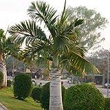 Spindle Palm Tree Seeds (Hyophorbe verschaffeltii) 40+Seeds