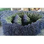 TooGet-Lavender-Dried-Ultra-Blue-Bundles16-18-Long-for-Home-Decor-Crafts-GiftWedding-or-Any-Occasion