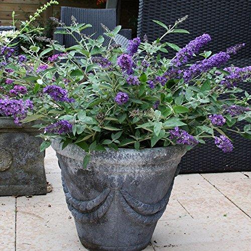 Blue Heaven Flutterby Petite Dwarf Butterfly Bush - Live Plant - Quart Pot by New Life Nursery & Garden (Image #2)