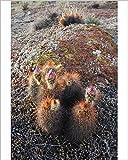 Photographic Print of Hedgehog Cactus (Echinocereus sp.) budding in granite hills, southwestern