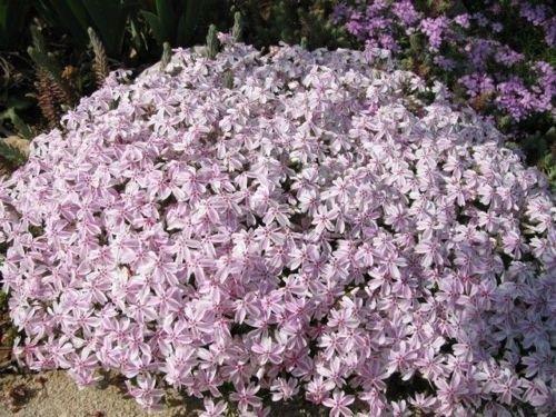 Creeping Plant Phlox - PHLOX SUBULATA 'CANDY STRIPE' - CREEPING PHLOX - PLANT