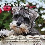 Schnauzer Puppies 2019 7 x 7 Inch Monthly Mini Wall Calendar, Animals Dog Breeds Puppies (Multilingual Edition)