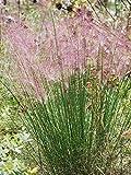 Perennial Farm Marketplace Muhlenbergia capillaris ((Pink Muhly) Ornamental Grass, Size-#1 Container, Dark Green Foliage