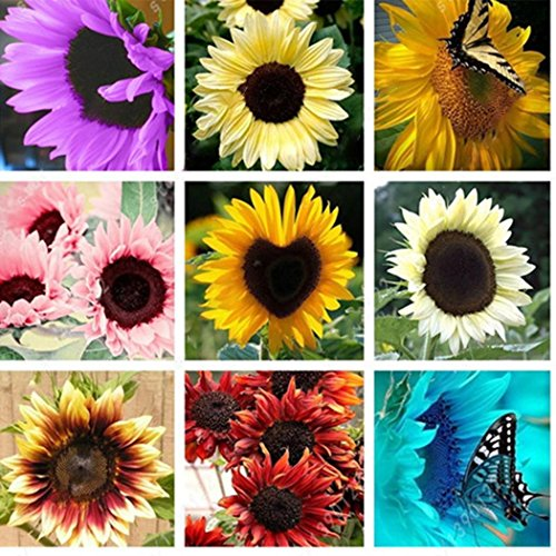 Caiuet Seed house - 100pcs Giant Sunflower Seeds Colorful Balcony Flower Seeds Autumn Magic Screen Protector Ornamental Plants for Garden Balcony/Patio ()