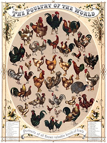 - 11x14 Decor Poster.Room Interior Art Design.Chicken Fould Hen World Breed.7489