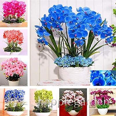 Kasuki 100pcs Phalaenopsis Orchid,Phalaenopsis Plants,Bonsai hydroponic Flower Bonsai for Four Seasons, Rare Orchid Flower Easy to Grow - (Color: Mix): Garden & Outdoor