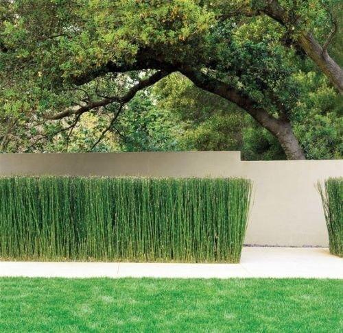 10+ Horsetail Reed Grass Looks Like Mini Bamboo (Equisetum hyemale) Pond Plant