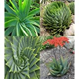 Aloe species mix 25+ Seeds