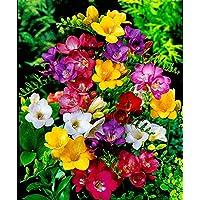 10 bulbos de fresia de una flor en