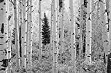 12-Feet wide by 8-Feet high. Prepasted robust wallpaper mural from a Black & White photo of: Aspen White Birch Forest, Elk Mountains Colorado: Easy to install remove and reuse.See video