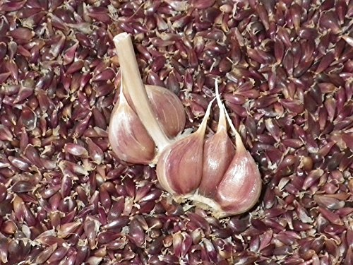 (ONTARIO PURPLE TRILLIUM Heirloom Serpent Garlic Bulbils 50 RARE SEEDS Rocambole)